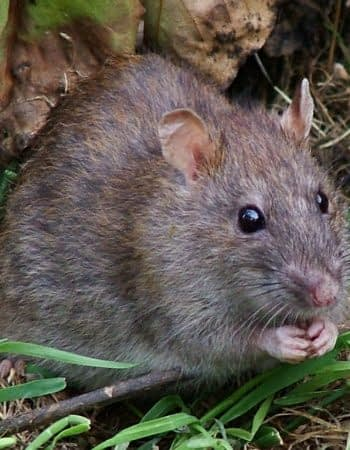rat pest control company in clitheroe