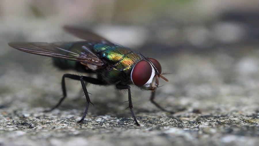 fly treatment